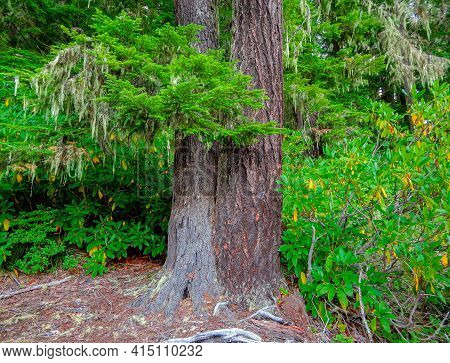 Two Trees In One - A Hemlock And Fir Tree Growing Together Among Rhododendrons In The Forest On The