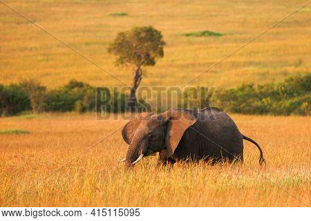 African Bush Elephant (loxodonta Africana) In A Savanna During A Sunset