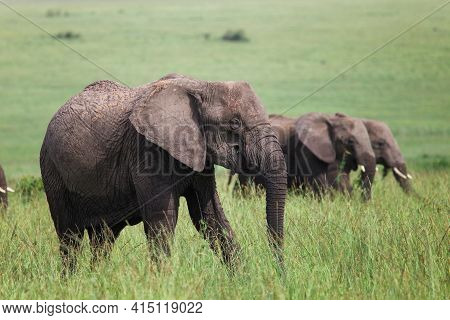 African Bush Elephants (loxodonta Africana) In A Green Grassland