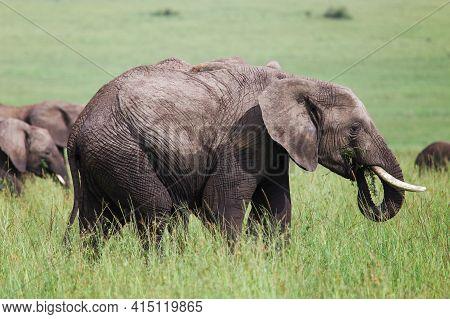 African Bush Elephant (loxodonta Africana) In A High Green Grass