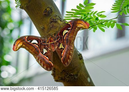 Attacus Atlas, The Atlas Moth, Large Saturniid Moth, Sitting On A Tree Branch With Spread Wings. Big
