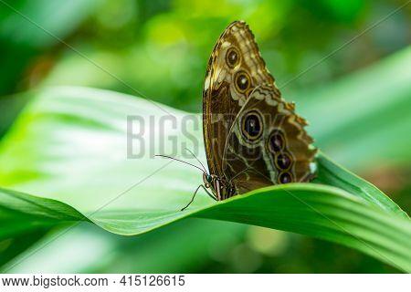 Morpho Peleides, The Peleides Blue Morpho, Common Morpho Or The Emperor Sitting On A Green Leave, Sh