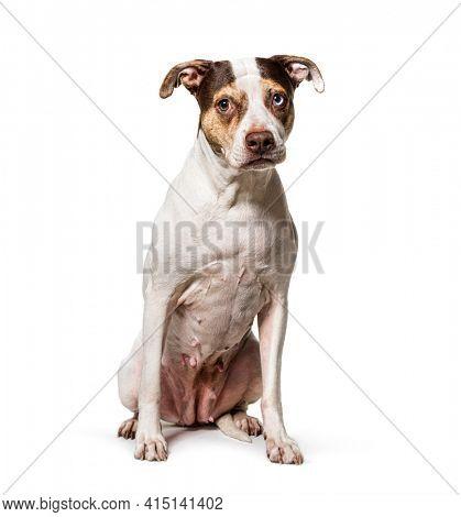 Odd-eyed Mixed breed dog, sitting on white