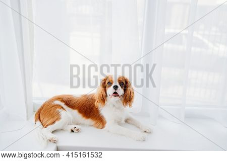 Cavalier King Charles Spaniel - A Breed Of Companion Dogs On The Windowsill.