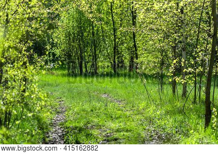 Dirt Road In The Spring Forest. Sunny Day In The Forest. Green Spring Foliage. Nature Background