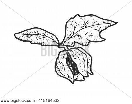 Physalis Fruit Plant Sketch Engraving Vector Illustration. T-shirt Apparel Print Design. Scratch Boa