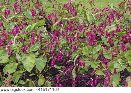Oriental Mountaineer, Polygonum Orientale, Luxuriantly Blooming Bushes In  Garden Early Autumn;