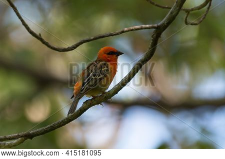 Side View Of A Beautiful Bright Red Colored Mauritius Fody (foudia Rubra), Perched On A Tree Branch