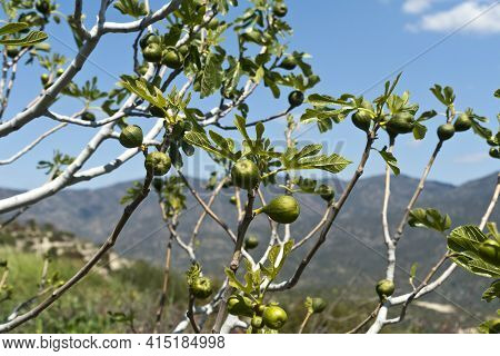 Close-up Of Green Unripe Figs Growing On Tree In The Mountains In Sunlight