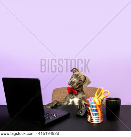 Dog In A Bow Tie In Front Of A Computer. Humorous Depiction Of A Boss Pet. Dog Working, Dog At Work