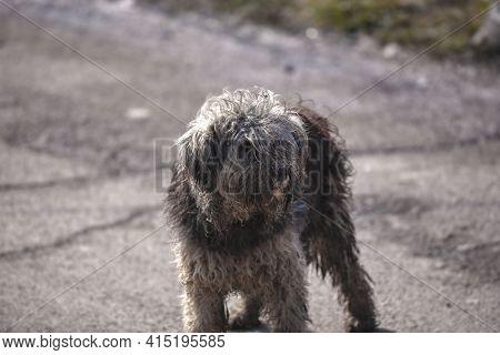 Stray Dog Needing A Haircut. Homeless Dog In Need Of Shelter. Dog With Dreadlocks