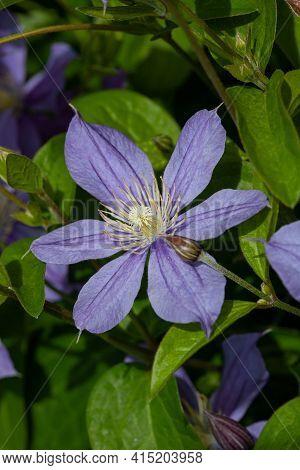 Blue Flowering Vine Jackman's Clematis (clematis Jackmanii) In The Summer Garden