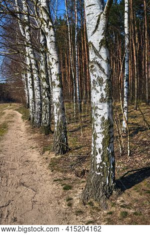 Dirt Road And Birch Grove During Spring In Poland
