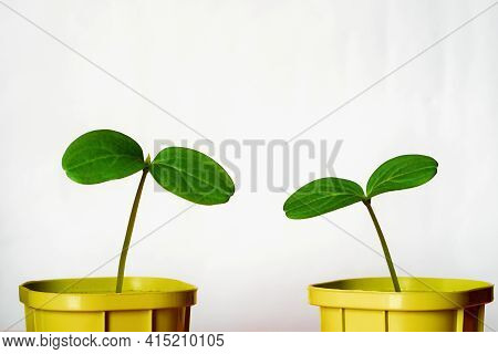 Young Green Plants Or Seedlings Of Crops Close-up In Two Pots For Cultivation And On A White Backgro