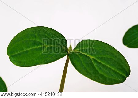 New And Young Green Plant Or Seedlings Of Agricultural Crops Closeup