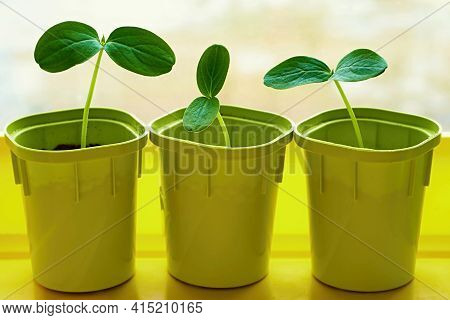 New Young Green Plants Or Seedlings Of Crops In Three Pots For Cultivation And Closeup