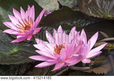Big Wild Pink Water Lily Or Lotus Flower, Nelumbo Nucifera In The Water. Nymphaea In The Pond.