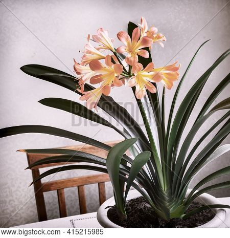 Indoor Flower-amaryllis With Bright Pink Flowers Surrounded By Green Leaves On The Table In The Room
