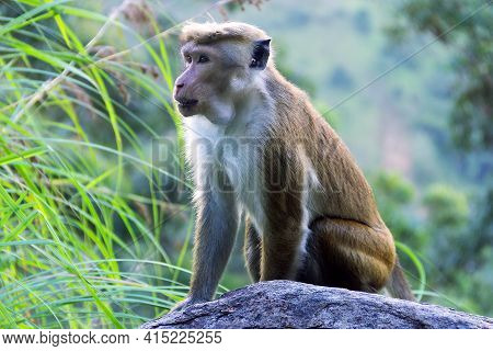 Monkey On The Background Of Rainforested Mountains. Endemic Fauna Of Sri Lanka. Pale-fronted Toque M