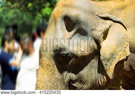 Head Of An Old Indian Elephant, Wrinkled Skin