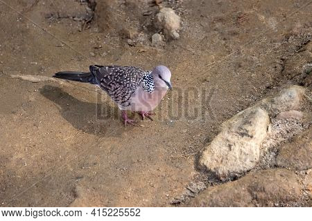 Spotted Dove (streptopelia, Spilopelia Chinensis Ceylonensis). Sri Lanka Sedentary Birds In City (st