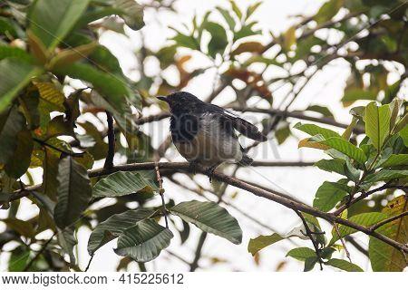 Winter Tropical Treescape. Oriental Magpie-robin (copsychus Saularis) After Rain. Sri Lanka