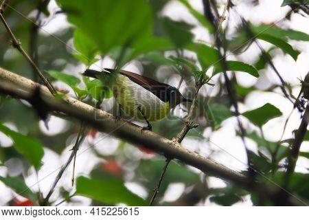 Winter Tropical Treescape Wit Purple-rumped Sunbird (nectarinia Zeylonica)