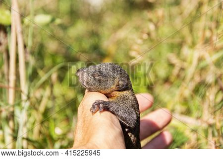 Indian Palm Squirrel (funambulus Palmarium) Pup In Hand, A Kit About A Month Old. Thailand