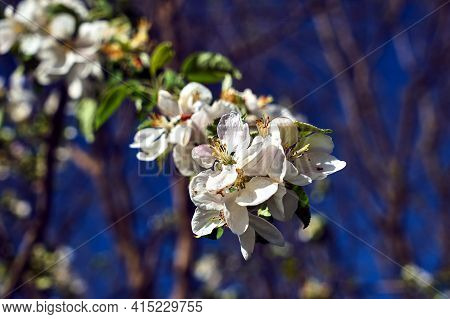 Blooming Fruit Tree Flowers On A Blue Sky  Background