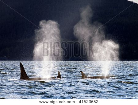 Orca Family Breaks the Surface