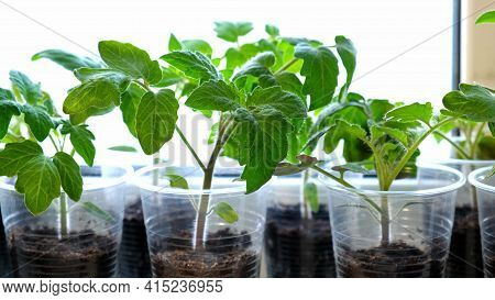 Small Green Tomato Seedlings In A Plastic Cups On A Window Sill, Vegetable Seed Growing Indoors For
