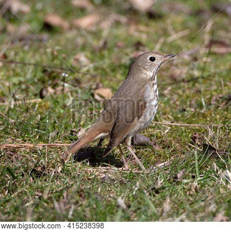 A Hermit Thrush (catharus Guttatus) Forages On Mowed Grass At Norris Dam State Park, Songbird Trail,