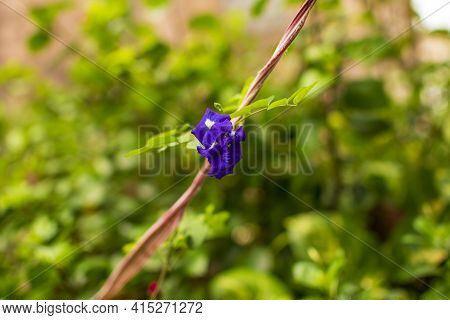 Blue Indian Aparajita Flower Also Known As Asian Pigeonwings