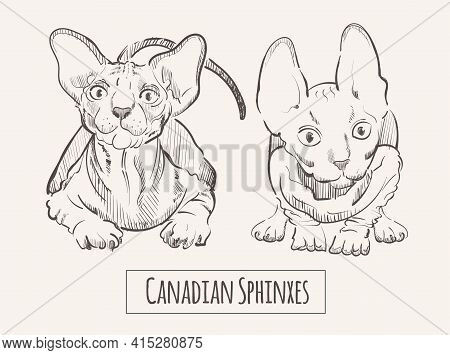 Canadian Sphinxes Cats, Sketch Hand Drawn Animal