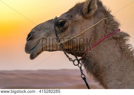 Close-up Of A Head Of A Domestic Camel In A Desert Of Wahiba Snads, Oman. Nomadic Life In Hot Arabia