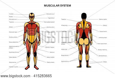 Human Muscular System Infographic Anatomical Poster. Structure Of Muscle Groups Of Men In Front And