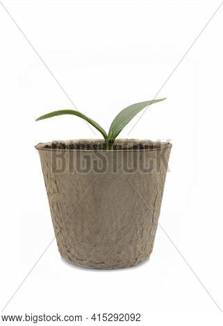 Young Luffa Seedling In A  Biodegradable Fiber Pot  Isolated On A White Background