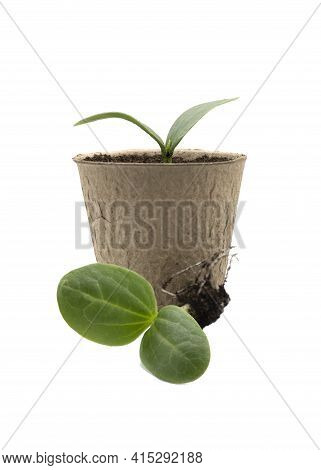 New Seedling Of A Luffa Plant In A Environmentally Friendly Pot Also Slowing Plant With Roots   On A