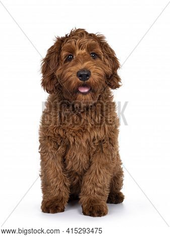 Adorable Red Cobberdog Aka Labradoodle Dog Puppy, Sitting Up Facing Front . Looking Straight To Came