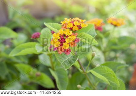 Colorful West Indian Lantana Bloom With Sunlight In The Garden On Blur Nature Background. Is A Thai
