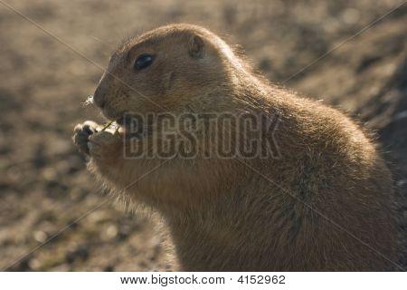 Prairiedog Eating