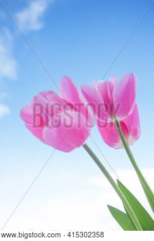 Pink Tulip On The Blue Sky Background