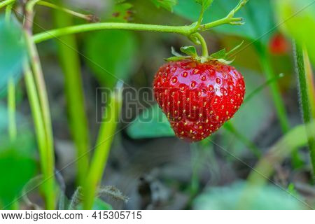 Ripe Strawberries With Holes Made By A Slug. The Slug-pest Arion Vulgaris Snail Parasitizes The Stra