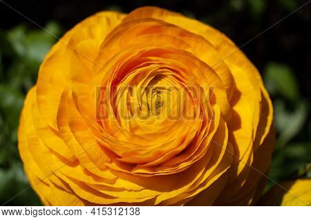 Macrophotography Of The Blossom Of A Persian Buttercup Hybrid With Yellow Petals