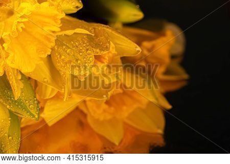 Water Droplets On Yellow Daffodils And Buds. Macro Of Beautiful Flowers Daffodils On A Reflective Da