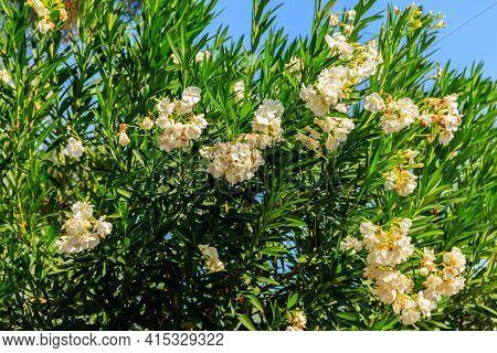 Blooming White Nerium Oleander In A Garden