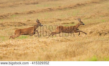 Roe Deer Buck Chasing A Doe On Dry Stubble Field In Summer Rutting Season