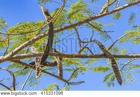 Poinciana Tree With Seed Pods And Blue Sky In Mexico.