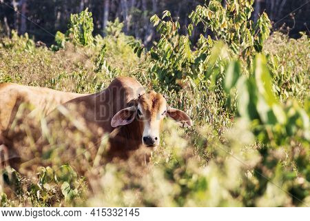 Thai Zebu Cattle Breeds From Central Plateau