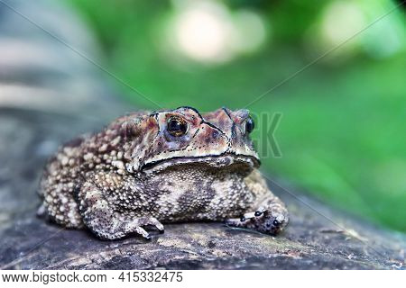 Ferguson's Toad (bufo Fergusonii) In Past Schneider's (dwarf) Toad (duttaphrynus Scaber) Amphibian T